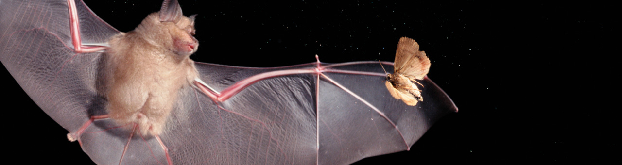 08_Bat vs moth