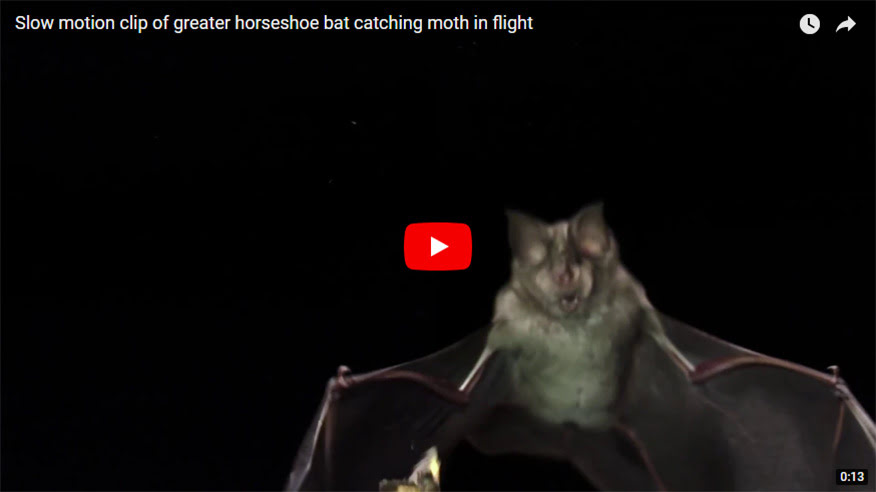 Slow motion clip of greater horseshoe bat catching moth in flight